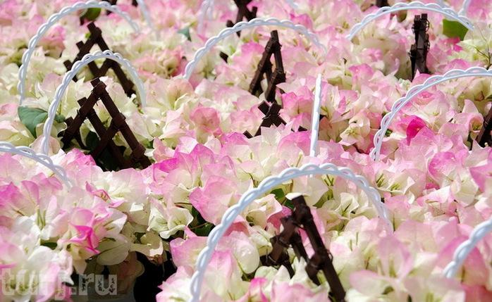 Асигака в начале мая цветет, на японском её название звучат как Fuji - фото 18