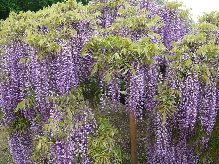 Асигака в начале мая цветет, на японском её название звучат как Fuji - фото 19