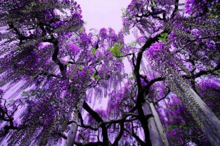Асигака в начале мая цветет, на японском её название звучат как Fuji - фото 20