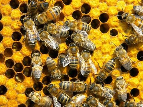 лечение пчелами (500x375, 132Kb)