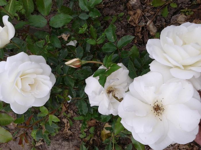 роза юбилей принца монако описание и фото