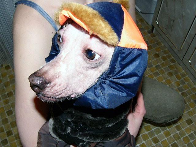 собака в шапке.  (640x480, 83Kb)