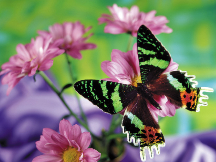 Animals-Insects-Beautiful-butterfly-012626- (700x525, 101Kb)