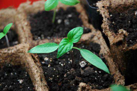 Из-за неблагоприятных климатических условий чаще всего высаживается рассадой.  Возраст растений к моменту посадки.