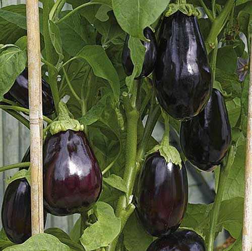 Баклажаны либо голубые числятся возлюбленными овощами южан.  Что только с ними не делают - запекают...