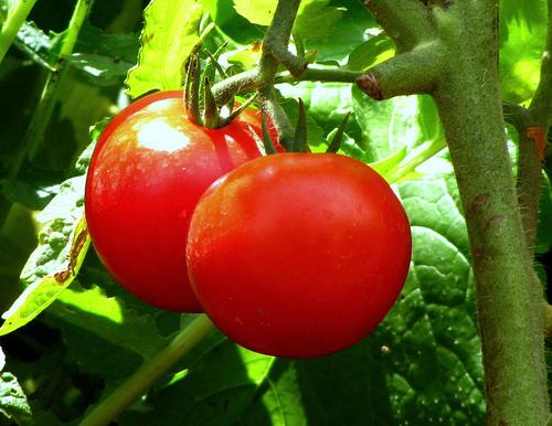 tomato (500x386, 150Kb)