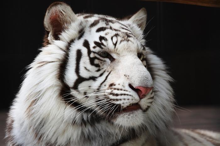 белый тигр фото 9 (700x466, 227Kb)