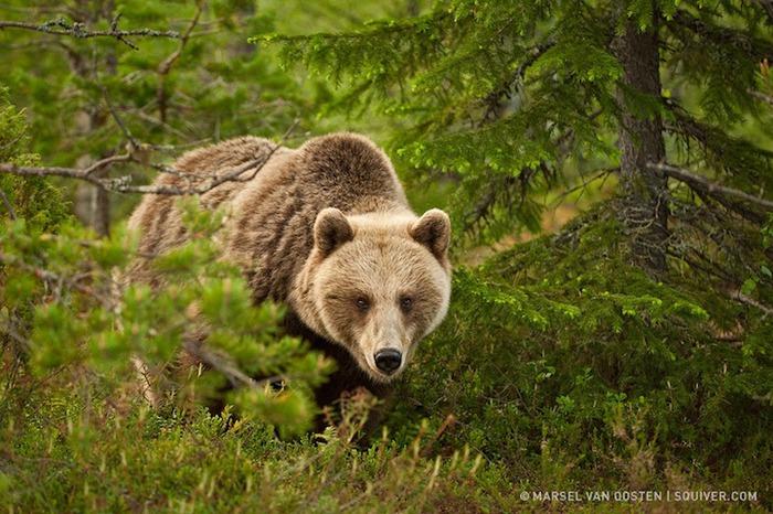 bears2 (700x466, 136Kb)