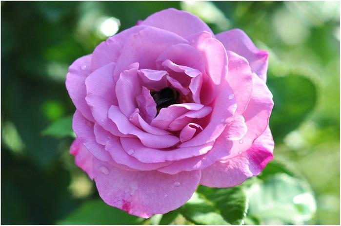 роза (500x364, 75Kb)
