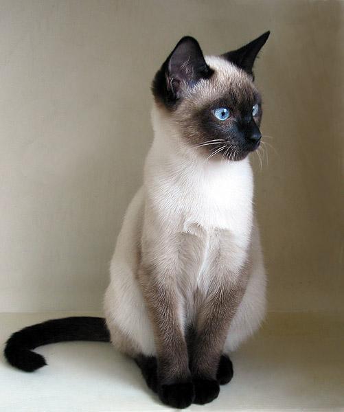 Сейчас, она кошка средних размеров с небольшими, но крепкими лапами округлой формы.  Хвост средней длины с достаточно...