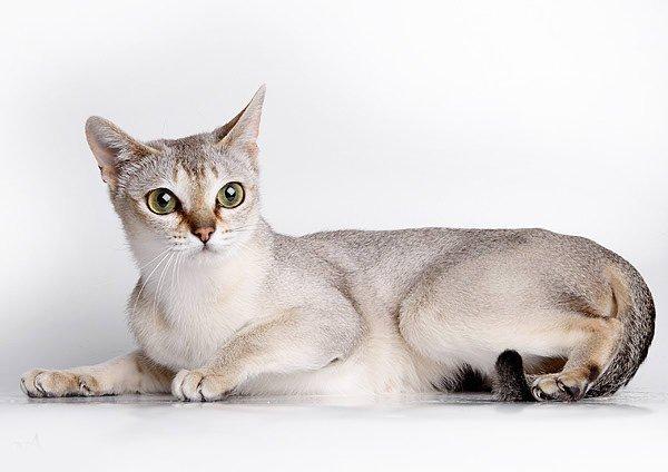 Писать австралийская дымчатая кошка