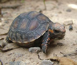 Черепаха - 30 лет без еды (295x249, 26Kb)