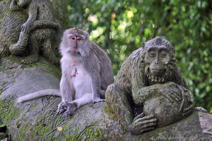 11. По большей же части обезьяний народец настроен философски. Взирают с высоты, но не свысока (700x466, 90Kb)
