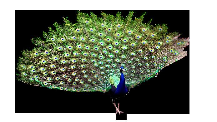 61788828_peacock1FBR_2405___352_KB (694x391, 364Kb)