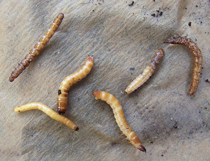1352714946_coleoptera_larvae_ritnaalden (700x539, 68Kb)