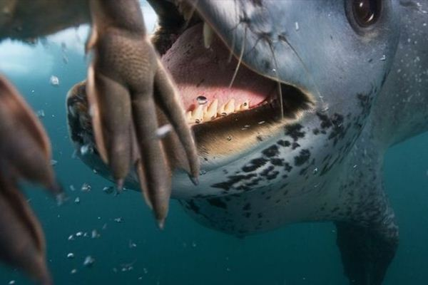 leopard seal penguin 6 (600x400, 29Kb)