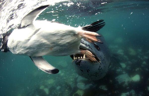 leopard seal penguin 8 (600x387, 33Kb)