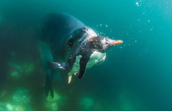 leopard seal penguin 12 (600x387, 20Kb)