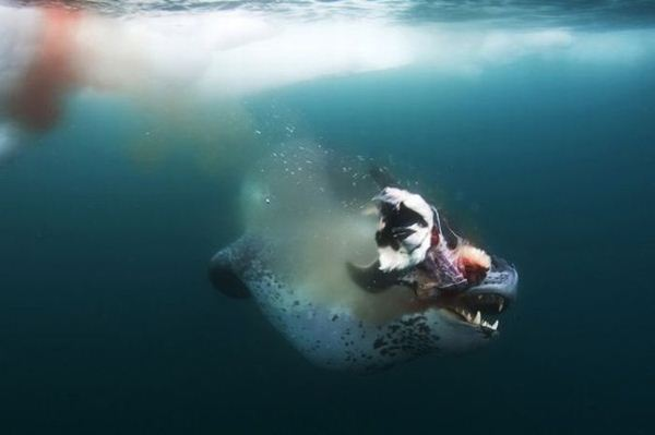 leopard seal penguin 14 (600x399, 17Kb)