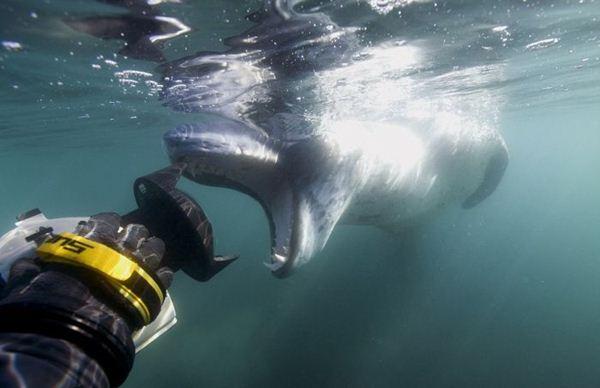 leopard seal penguin 16 (600x388, 29Kb)