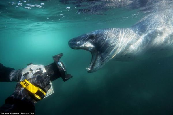 leopard seal penguin 18 (600x400, 26Kb)