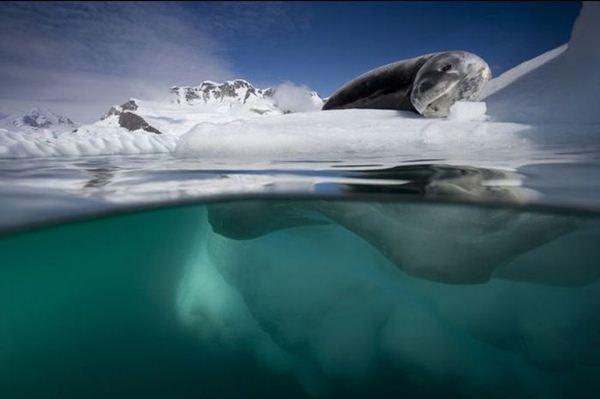 leopard seal penguin 22 (600x399, 22Kb)