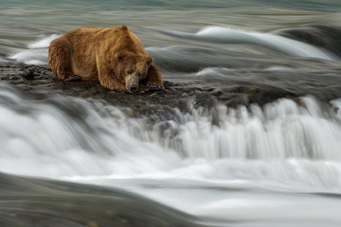 marsel_van_oosten_bears-1 (700x465, 88Kb)