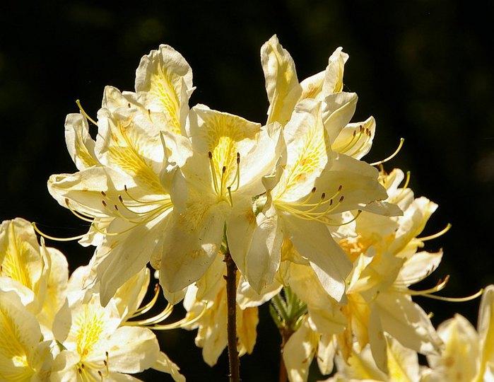 Рододендроновый парк-Westerstede Rhododendronpark. 69938