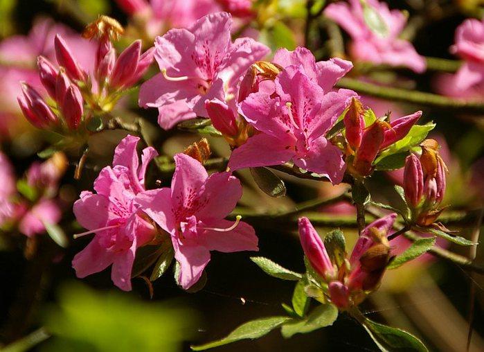Рододендроновый парк-Westerstede Rhododendronpark. 36666