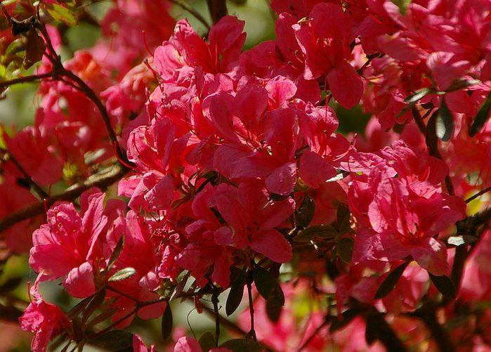 Рододендроновый парк-Westerstede Rhododendronpark. 58084