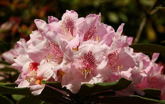 Рододендроновый парк-Westerstede Rhododendronpark. 28049