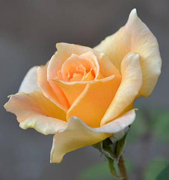 19-Rosa (564x600, 145Kb)