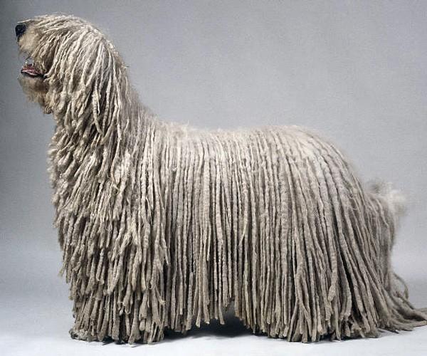 бобтейл собаки фото