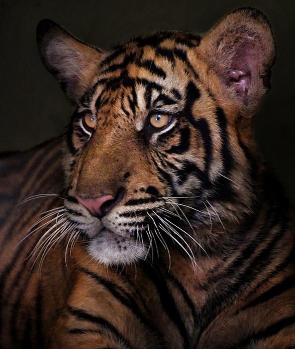 тигр (593x700, 148Kb)