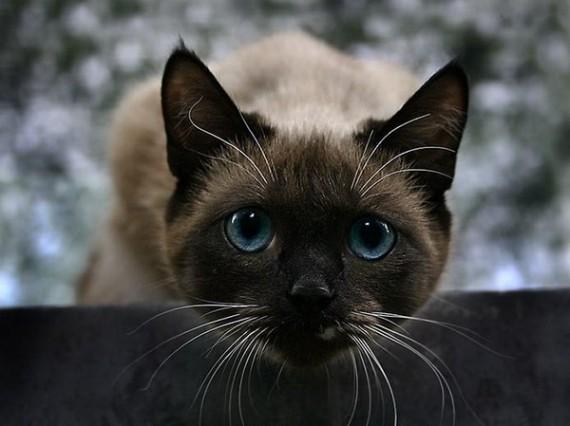 лечебные свойства кошек (570x426, 47Kb)