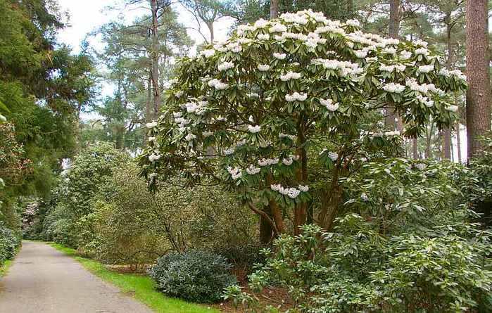 Рододендроновый парк-Westerstede Rhododendronpark. 61042