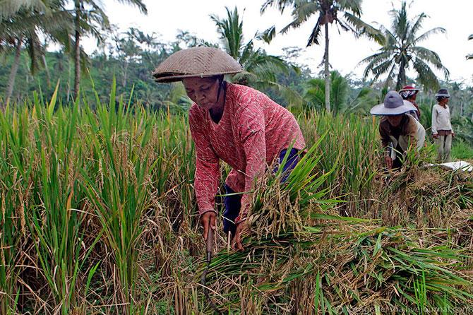 рисовые поля фото 7 (670x446, 161Kb)