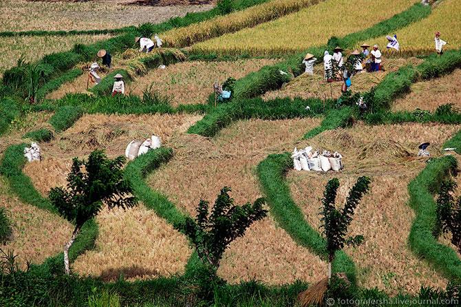 рисовые поля фото 9 (670x446, 155Kb)