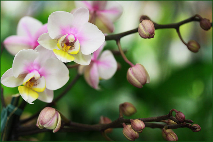 beautiful_orchid_by_emerald753-d46y48s (700x466, 60Kb)