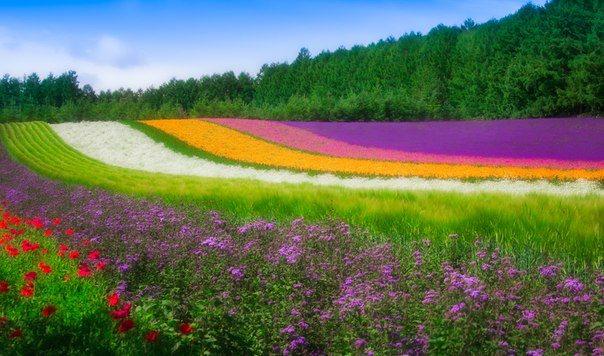 Цветочное поле, Хоккайдо, Япония (604x356, 62Kb)