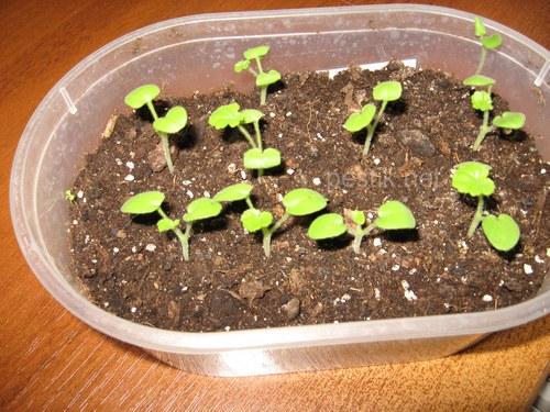 Как вырастить герани из семян в домашних условиях