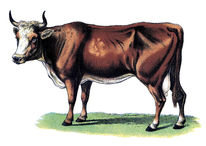 cows vintage image--graphicsfairy001b (700x498, 205Kb)