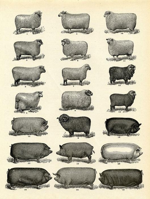 farm-animals-vintage-image--graphicsfairy004sm (529x700, 317Kb)