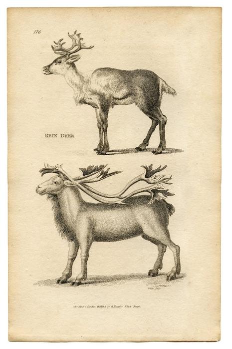 reindeer-graphicsfairy005sm (465x700, 217Kb)