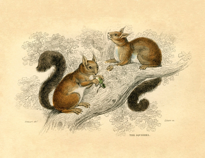 squirrels vintage image graphicsfairy2sm (700x540, 319Kb)