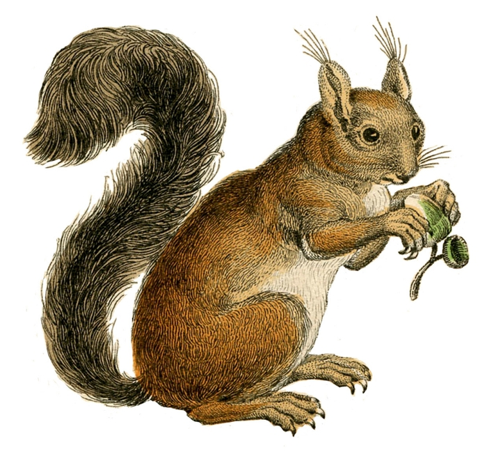 squirrels vintage image graphicsfairy3 (700x652, 292Kb)