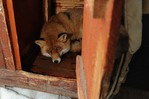 Фото лиса. domashnyaya lisica 10 Домашняя лисица (12 фото).