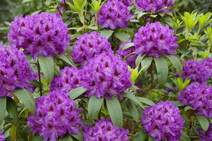 Рододендроновый парк-Westerstede Rhododendronpark. 45583