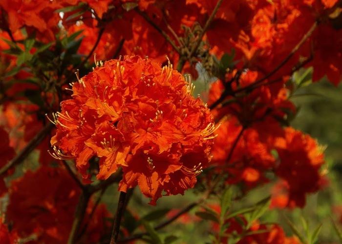 Рододендроновый парк-Westerstede Rhododendronpark. 64367