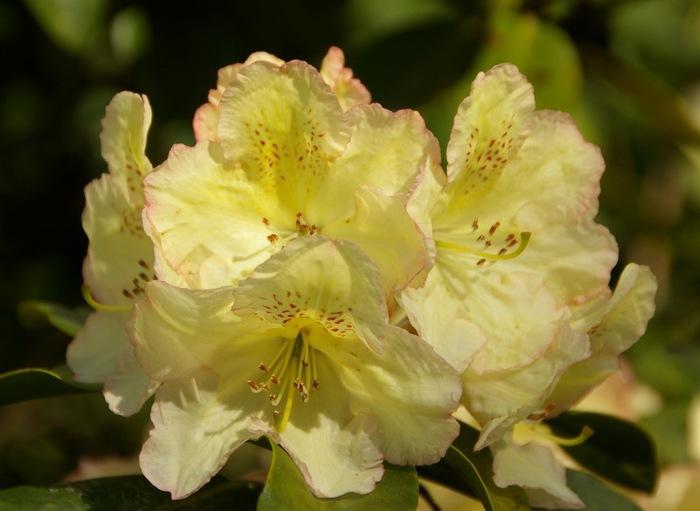 Рододендроновый парк-Westerstede Rhododendronpark. 92917
